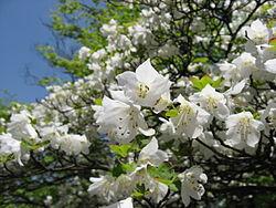 250px-Rhododendron_quinquefolium02