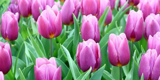 tulip-violet